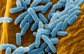 Pseudomonas Aeruginosa Bacteria